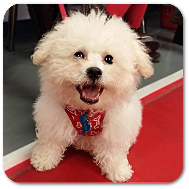 bichon_dog